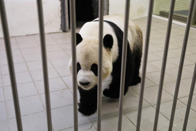 """熊猫""""星徽""""和""""好好""""去年2月23日抵达比利时布吕热莱特市的天堂动物园"""