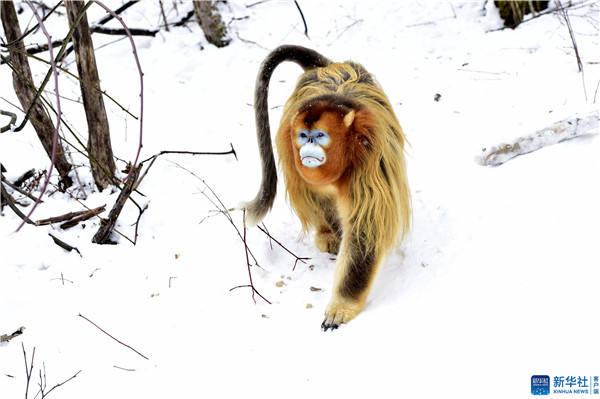 神农架野生金丝猴雪趣