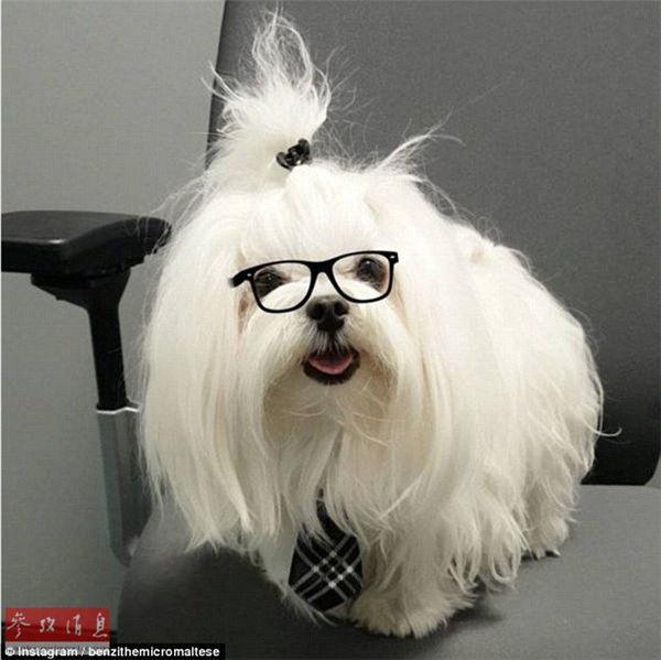 """世界上最可爱的小狗?超萌茶杯犬成""""网红"""""""