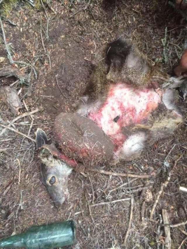 国家一级保护动物林麝遭捕杀 警方:已锁定嫌疑人