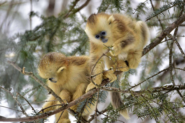 资料图片:神农架大龙潭金丝猴保护基地山林中的金丝猴,新华社记者