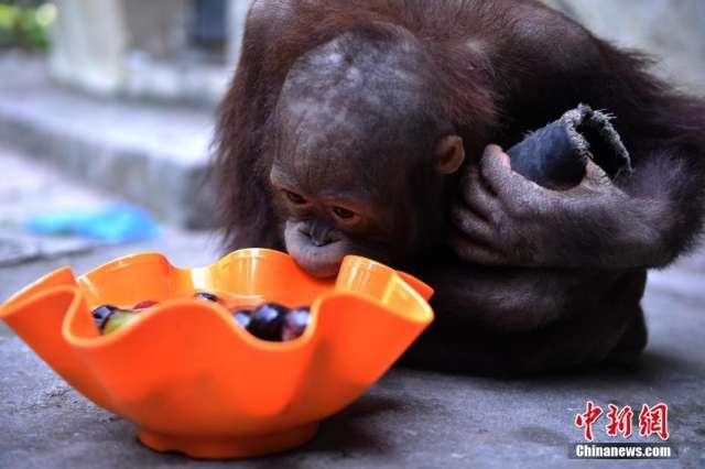 高温下动物吃冰镇水果解暑