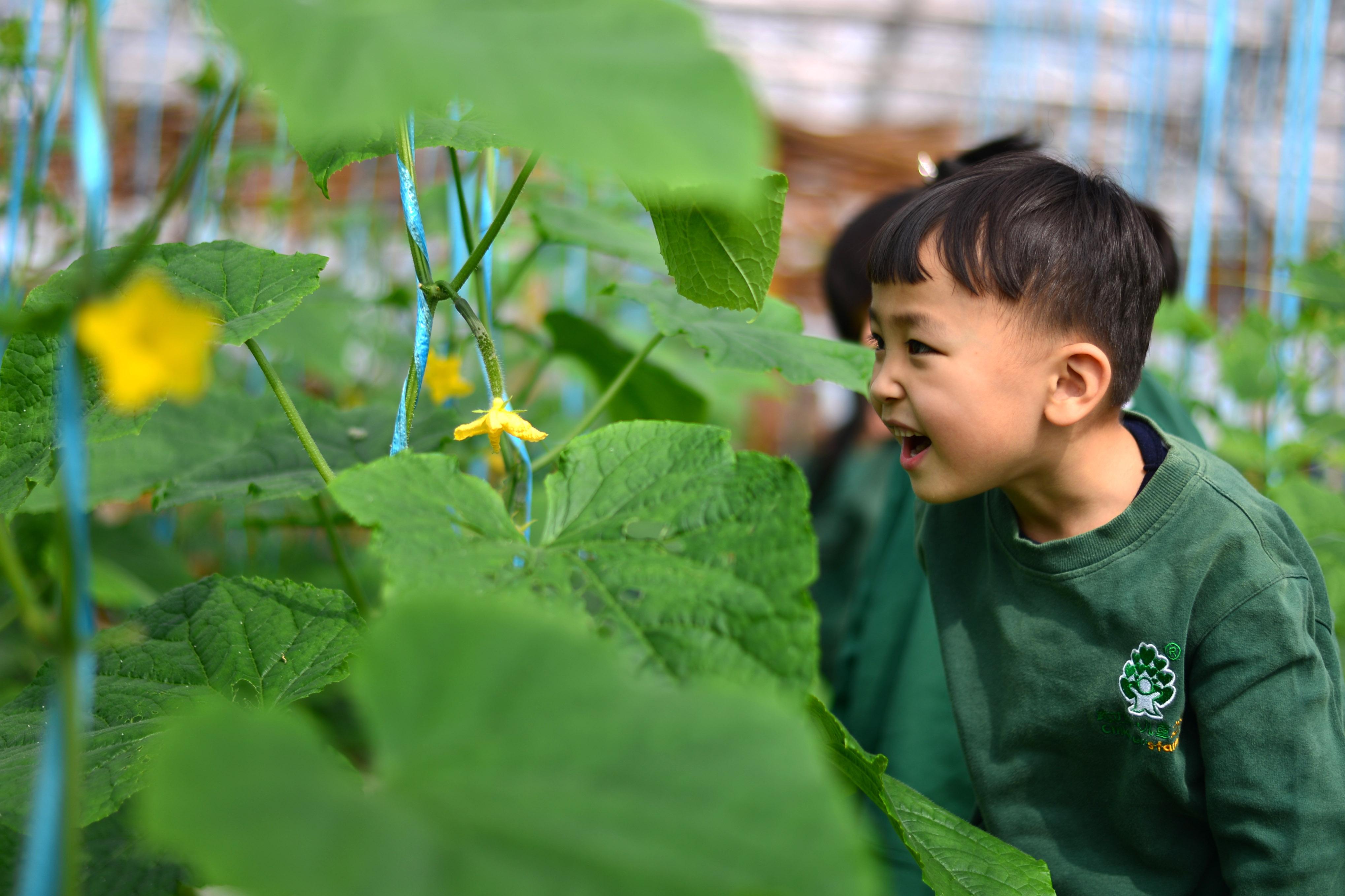 ↑10月19日,一名小朋友在观察开花的黄瓜。CICPHOTO/霍红军 摄