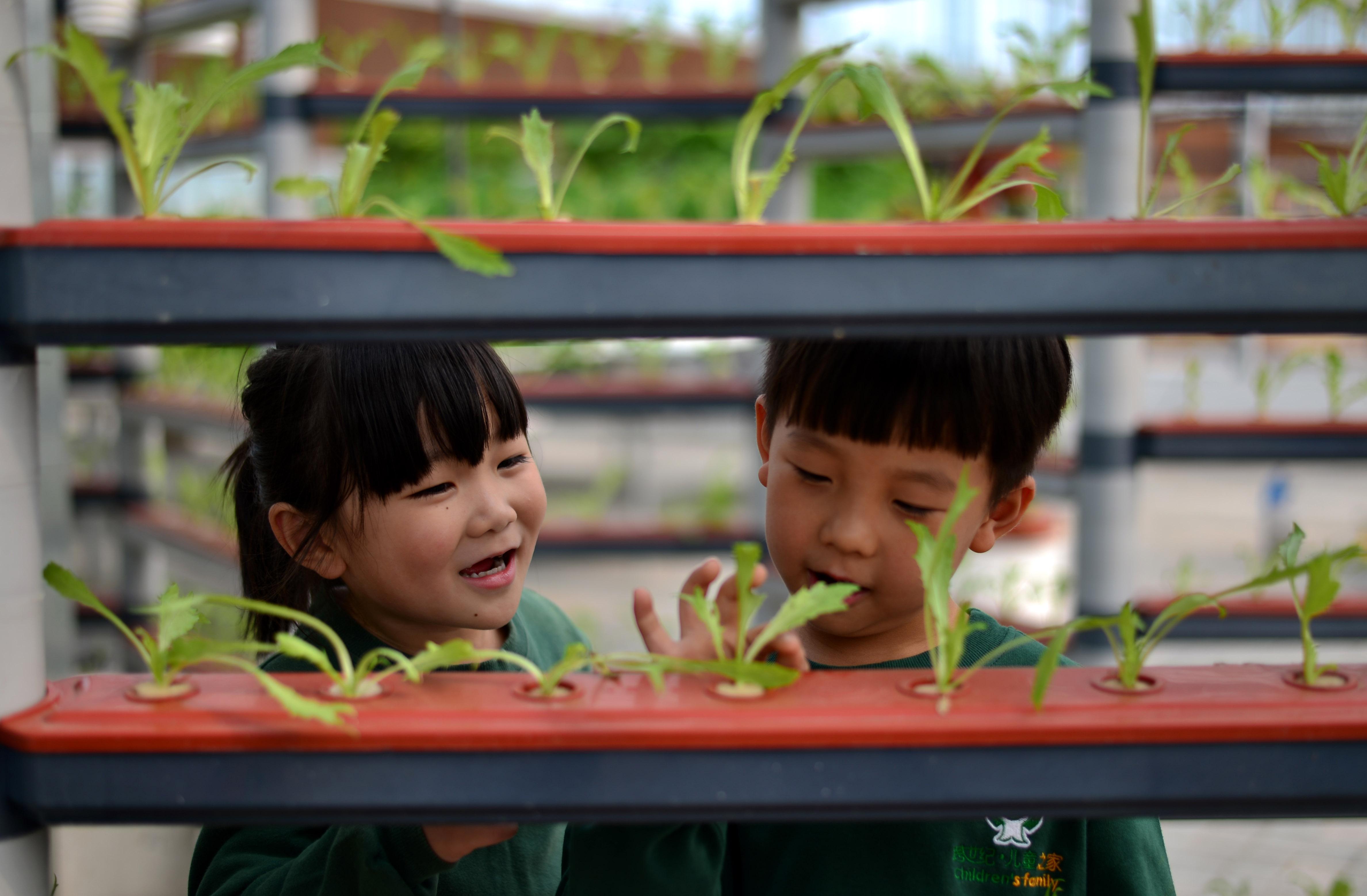 ↑10月19日,小朋友在观察苦苣的长势。CICPHOTO/霍红军 摄