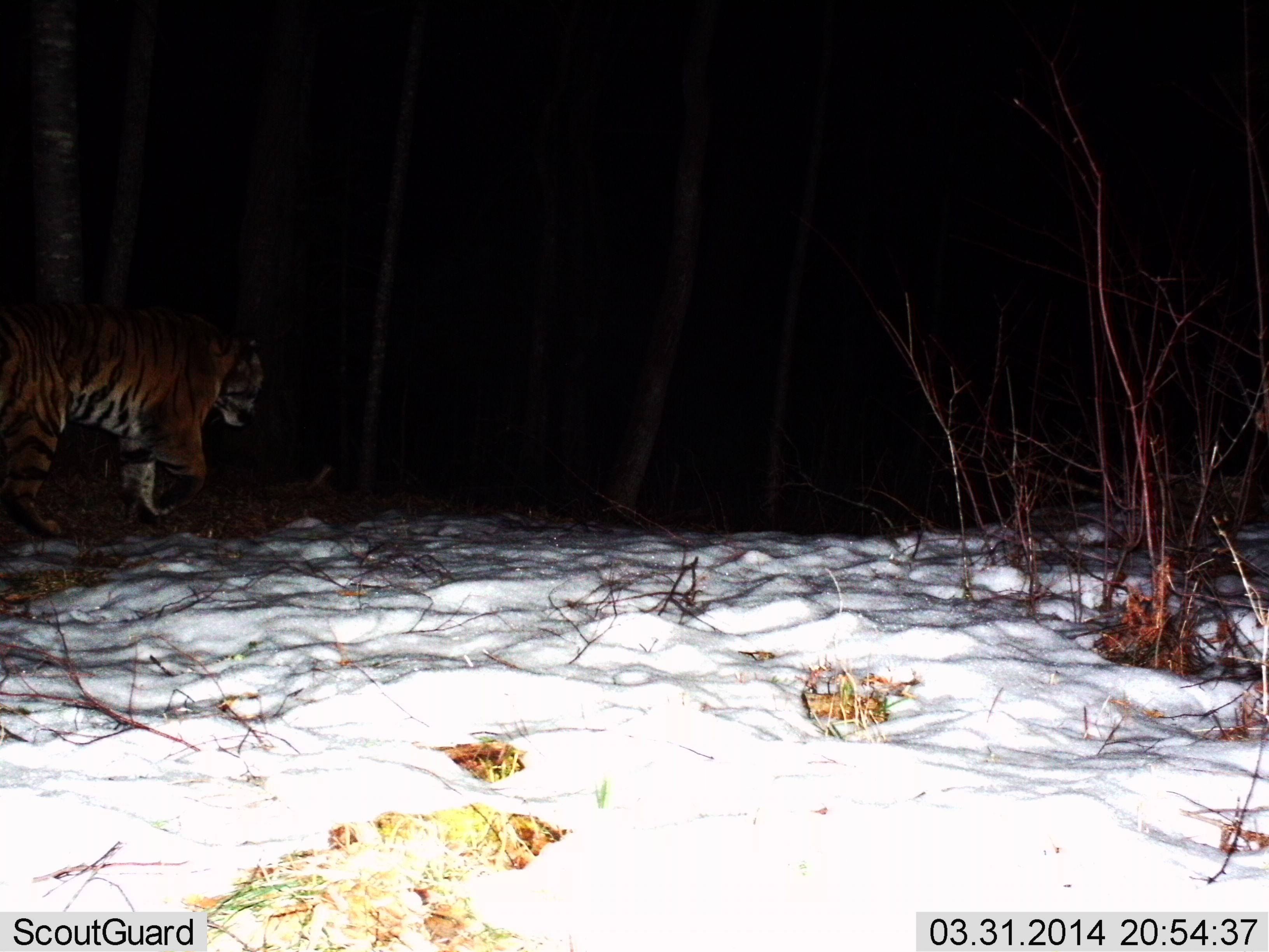 图为红外相机拍摄到的东北虎。组图由黑龙江老爷岭东北虎国家级自然保护区管理局提供。