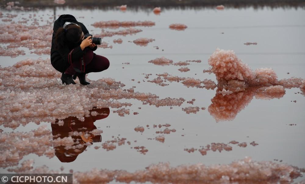 """↑1月11日,游客在山西运城盐湖拍摄粉红色""""镁花""""景观。CICPHOTO/薛俊 摄"""