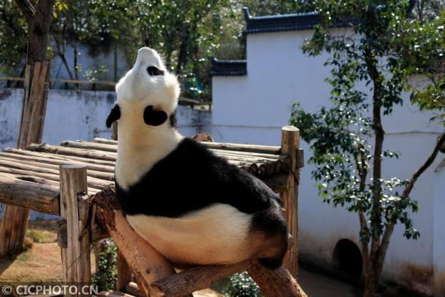 """可爱的大熊猫:沐浴春光""""萌""""满园"""