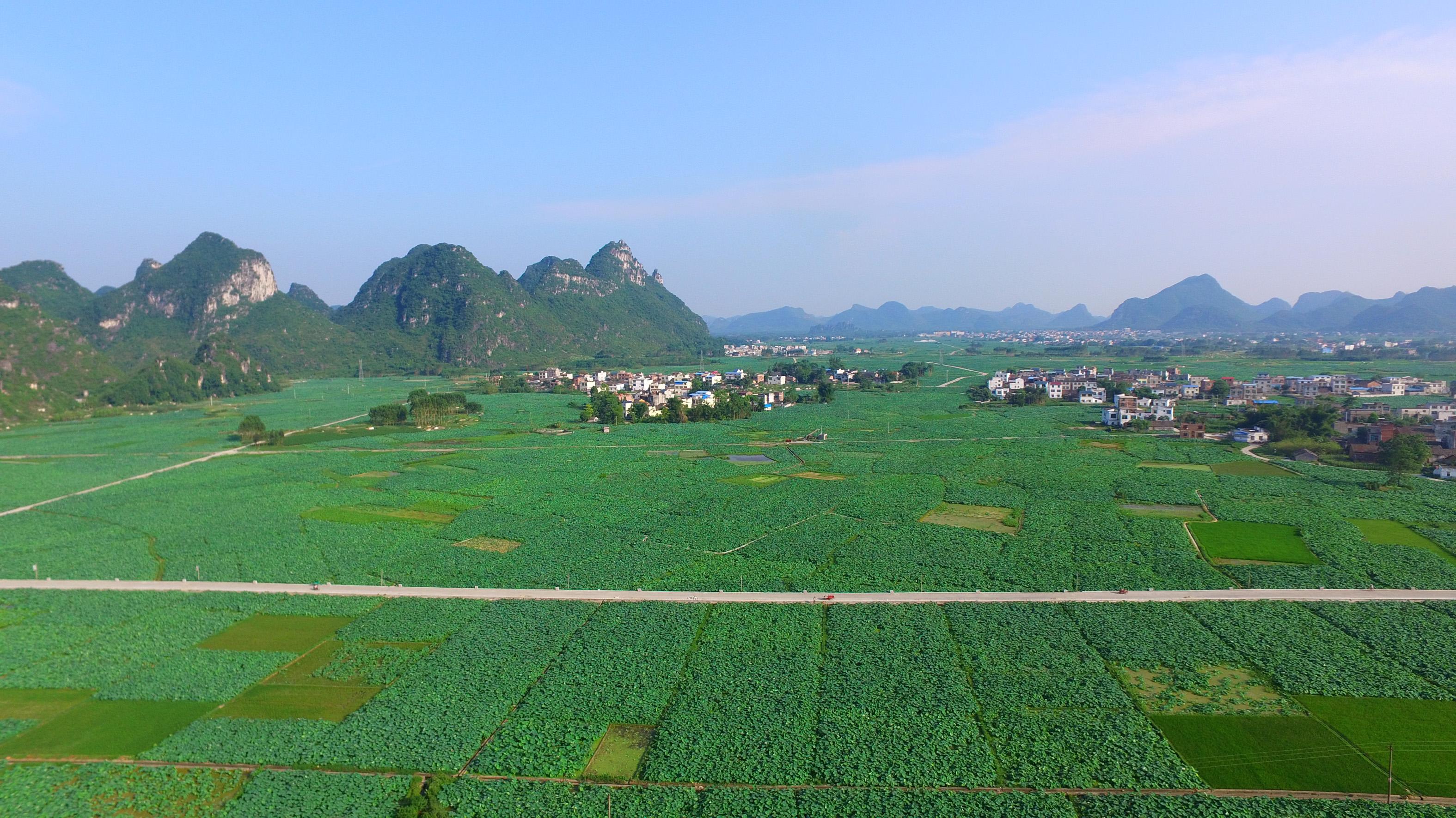 近日,广西柳州市柳江区百朋镇种植的万余亩莲藕开始进入收获季节