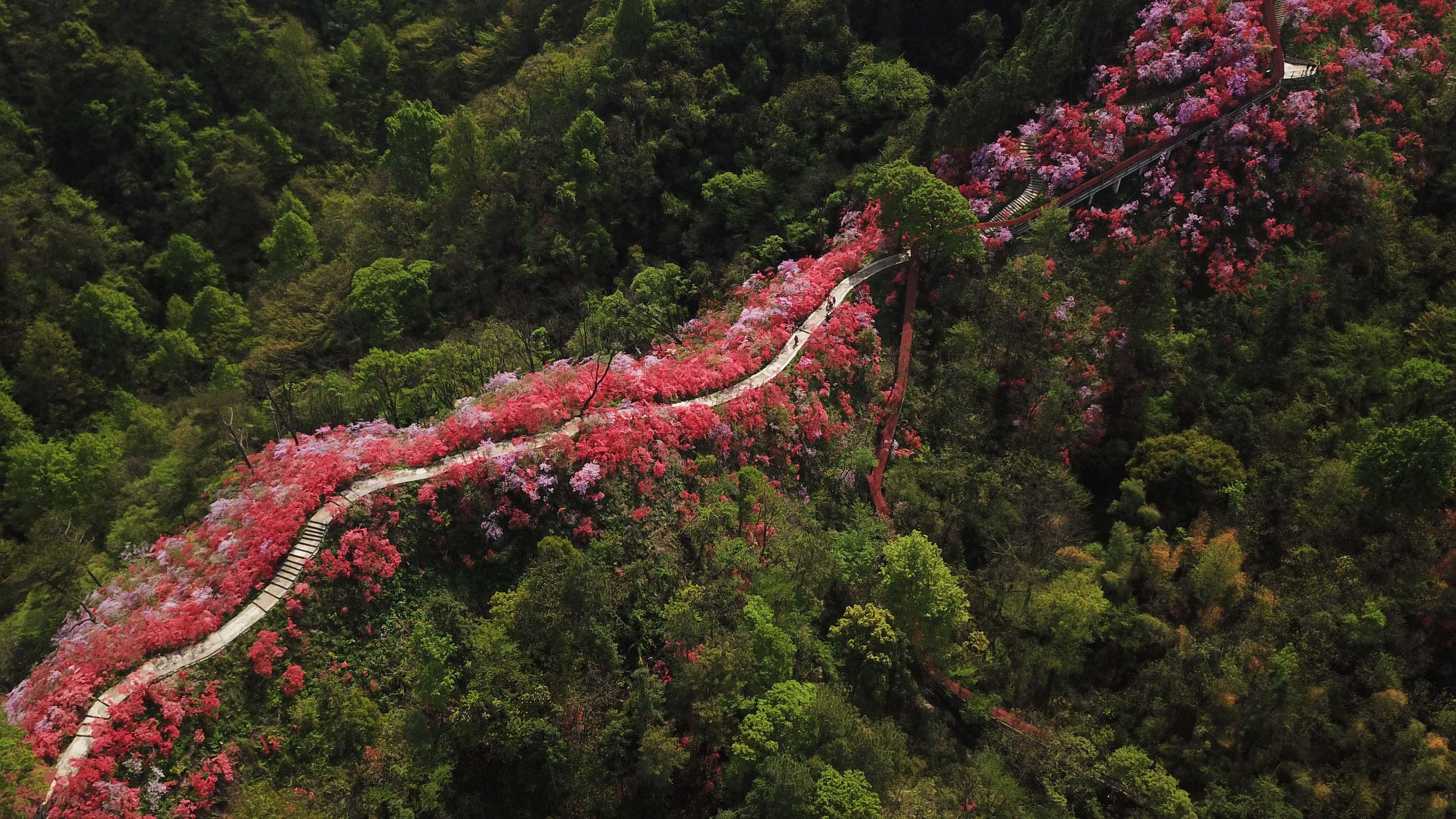 安徽省岳西县天峡风景区内的杜鹃花竞相绽放(4月12日无人机拍摄).