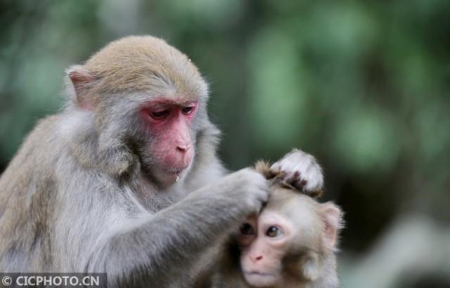 贺州姑婆山野生猕猴数量超300只