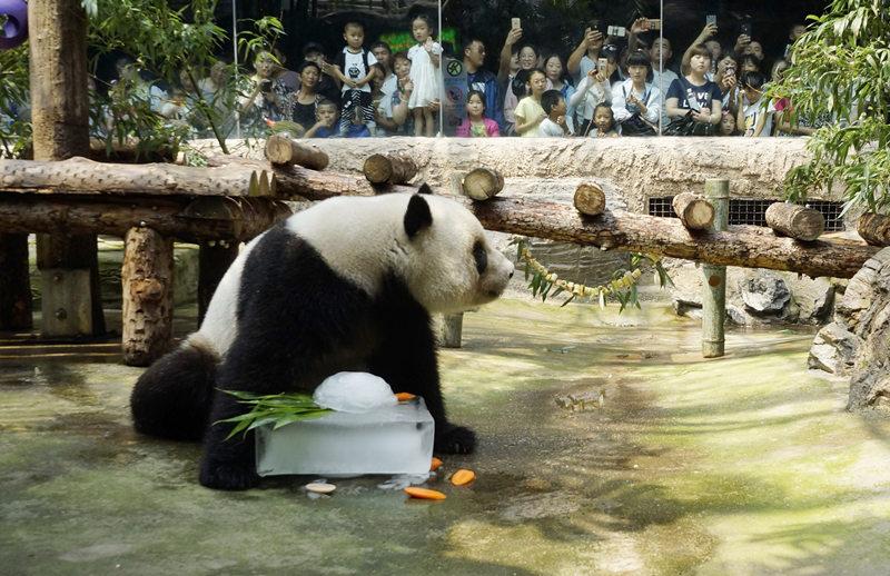 """7月12日,北京动物园的一只大熊猫在享用""""冰点心""""。北京连日出现高温天气,北京动物园动物防暑降温工作也全面启动:开空调、送冰块、用喷淋……多种措施共伴动物清凉过夏。新华社记者 李欣 摄"""