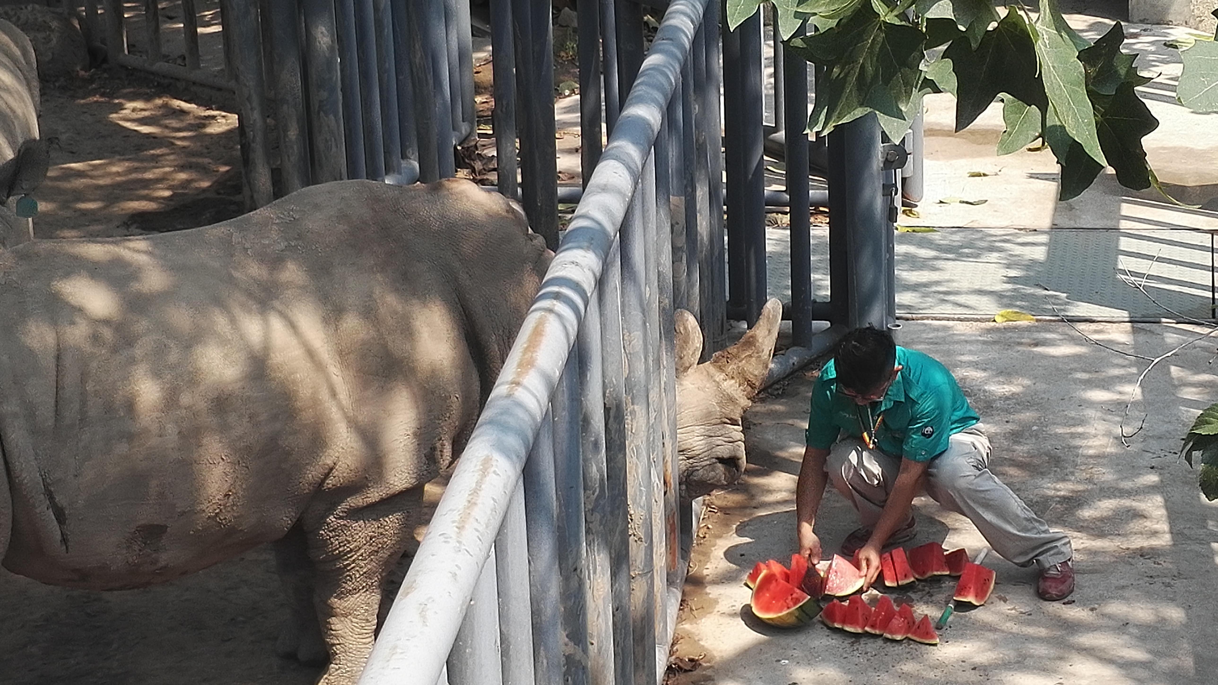 7月12日,北京动物园的一只犀牛在吞咽饲养员为它切好的西瓜。新华社记者 魏梦佳 摄