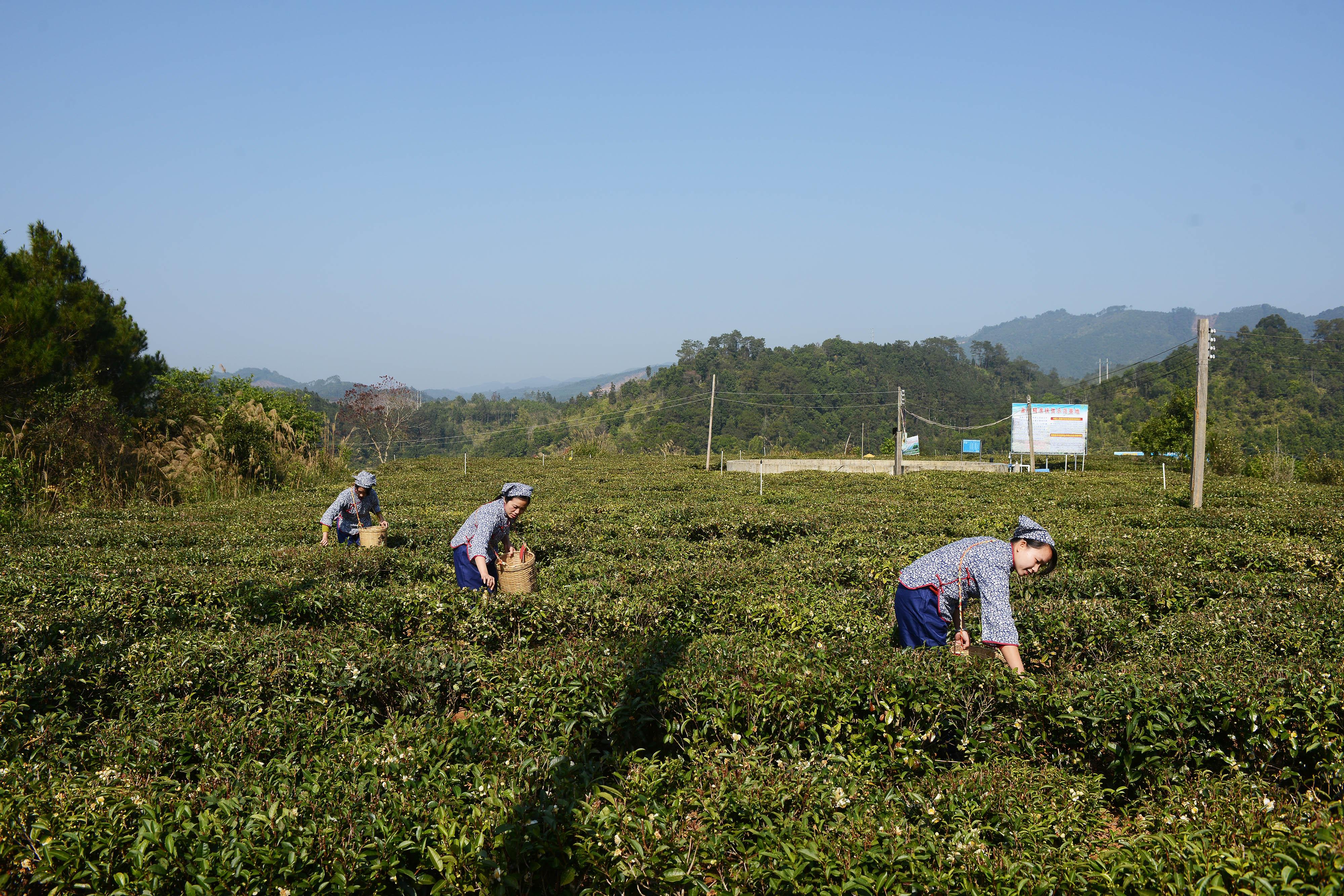 工作人员在广西苍梧六堡镇一茶叶种植基地劳作(2016年12月30日摄)。新华社记者 王全超摄