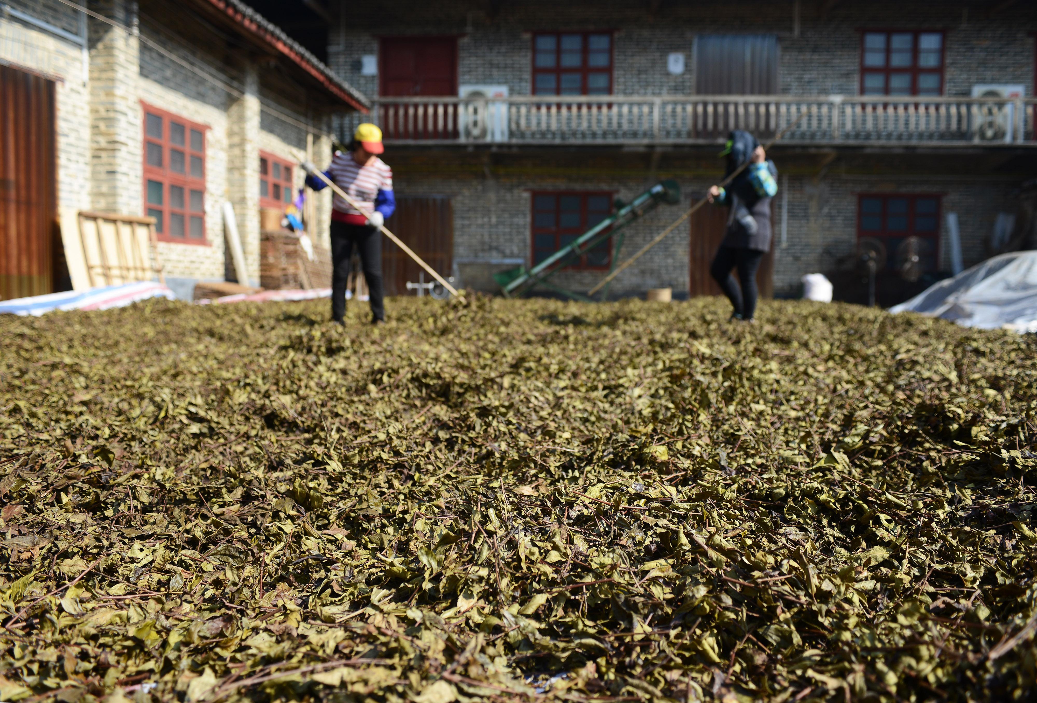 广西苍梧六堡镇一茶厂的工作人员在晾晒茶叶(2016年12月30日摄)。新华社记者王全超摄