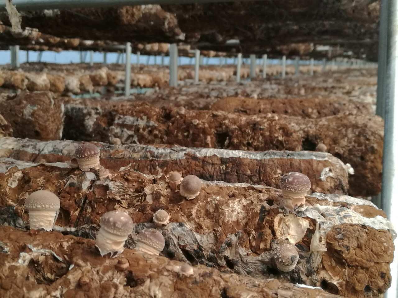 蘑菇大棚里从菌棒上刚刚长出来的蘑菇(新华社记者王宇 摄)