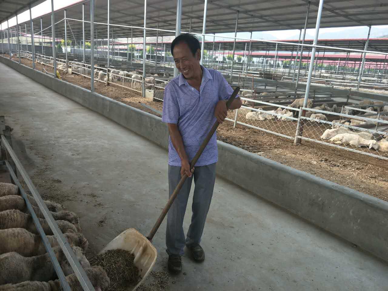 村民段占考在现代化的羊舍里给羊喂食(新华社记者王宇 摄)