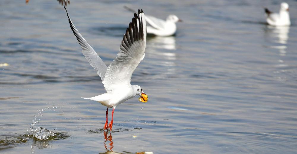 黃河水岸  鷗鳥翔集