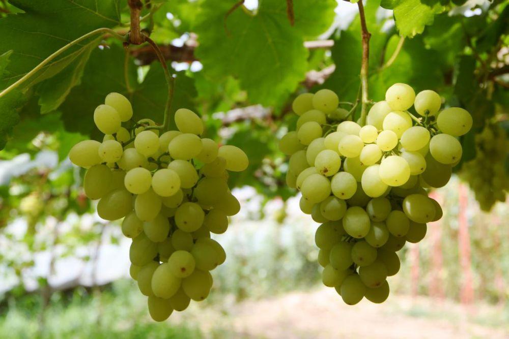 河北怀来:小葡萄撬动乡村产业高质量发展