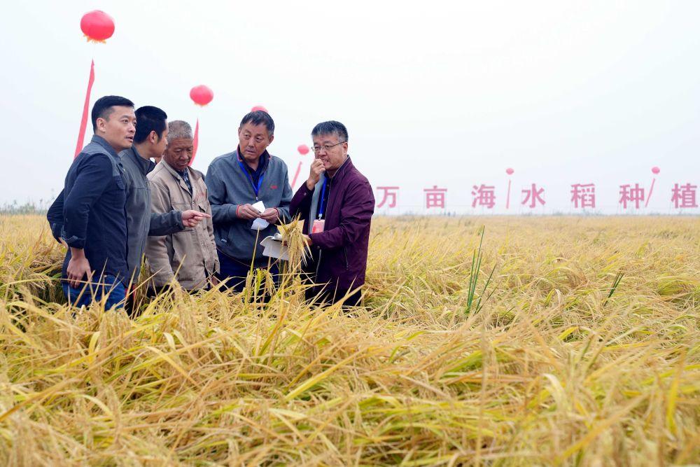 世界粮食日的特别礼物:中国十万亩海水稻平均亩产超千斤