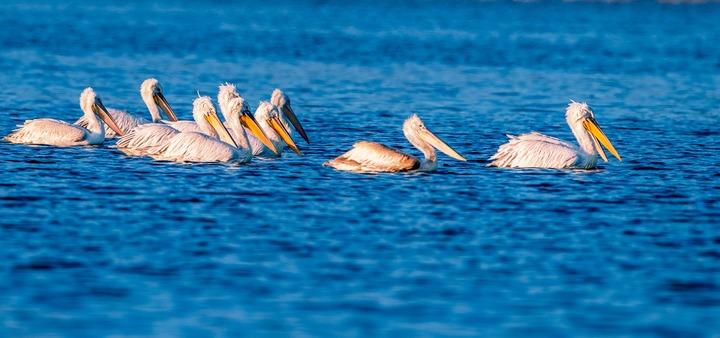 卷羽鹈鹕飞抵福州罗源湾越冬