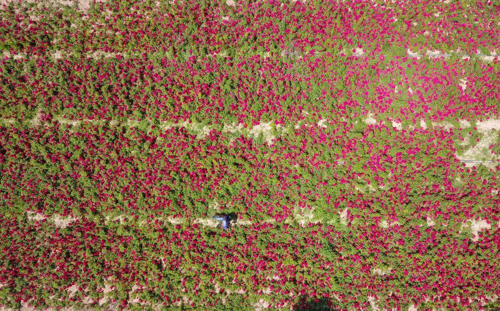 济南:玫瑰花开
