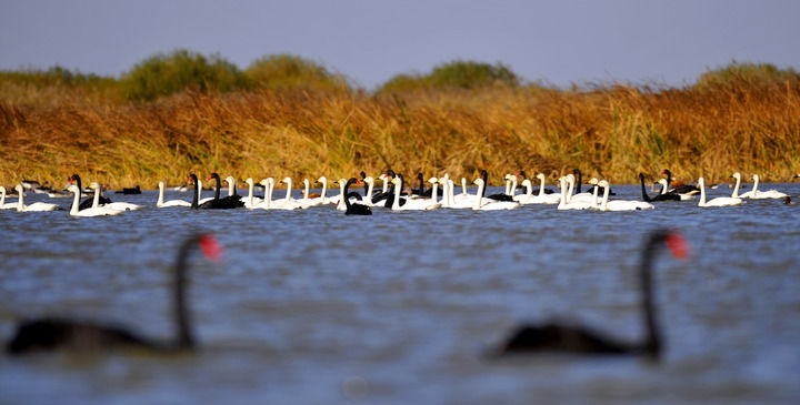 """这里何以成为600万只鸟儿的""""家园""""——探访黄河三角洲的生态保护"""